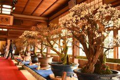 日本一といわれる長浜盆梅展は3月11日(日)まで開催中