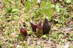 4月中旬からは緑の葉へと成長する