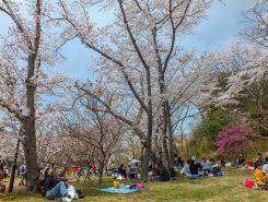 「お花見」は、日本特有の文化
