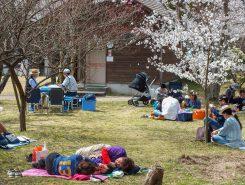 桜の下でのお昼寝も気持ちよさそう