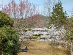 遅咲きの桜はこれから順次咲くので5月頃まで桜が楽しめそう