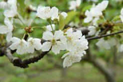 さくらんぼの花。梨の花に似ている