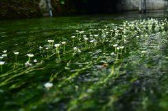 冷たい清流にしか生息しない梅花藻