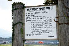 飯盛木は県指定自然記念物に指定されているケヤキ