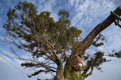 多賀町尼子にある飯盛木(いいもりぎ)