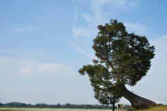 男飯盛木。周辺には蕎麦畑が広がる