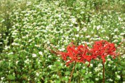 白い花に映える彼岸花
