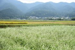稲穂と蕎麦の花