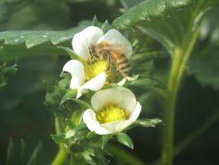 受粉中のミツバチ