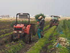 数種類の葱が植られ、時期をずらして収穫される
