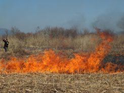 燃え上がるヨシの群落
