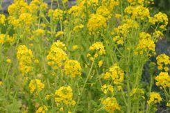 風に揺れる菜の花
