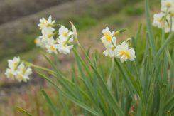 寒い時期から咲く水仙