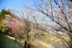 川沿いの土手に咲く紅白の梅