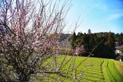里山に咲く梅の花