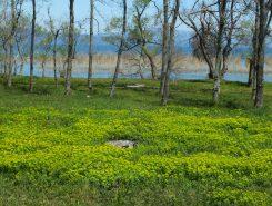 琵琶湖のそばに群生するノウルシ
