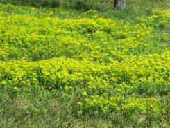 黄色い絨毯のよう