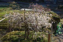 親木の枝から増殖した苗木