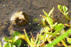 水田から顔を出す蛙