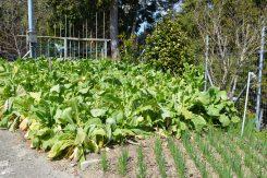 前田さんの畑30センチから60センチくらいに成長する