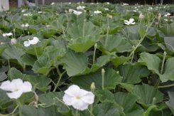 夕方に真っ白な花を咲かす